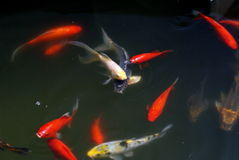 Koi dans l'étang Image stock