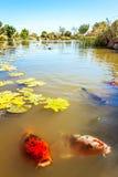 Koi dans le jardin de Shoyoen dans l'Australie de Dubbo Images stock