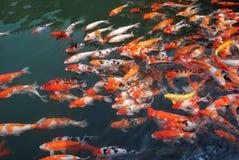 Koi dans le lac Photo libre de droits
