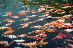 Koi dans le lac photos libres de droits