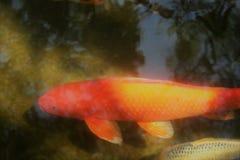 Koi de descanso na lagoa Fotos de Stock Royalty Free