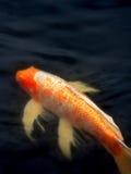 koi de poissons Images stock