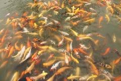 koi de poissons Photo libre de droits