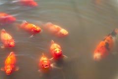 Koi die in een openluchtvijver zwemmen stock fotografie
