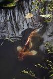 Koi die in vijver zwemmen Stock Afbeeldingen