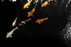 Koi dopłynięcie w wodnym ogródzie, Kolorowa koi ryba obraz royalty free