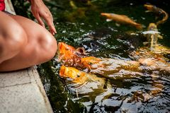 哺养的鱼 koi鱼在池塘在庭院里 五颜六色的装饰鱼浮游物在一个人为池塘 免版税库存照片