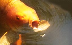 Koi eating food Royalty Free Stock Photography