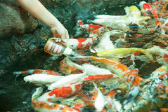 Koi eating from hand Stock Photos