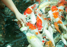 Koi eating from hand Royalty Free Stock Photo