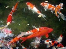 Koi em pond1 Imagem de Stock Royalty Free