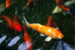 Koi Fancy carp. Koi Fish swimming in pond.water is black and reflection of light.Fancy Carp or Koi Fish are red,orange,and white Stock Images