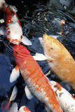 Koi feeding. Large koi waiting to be fed Royalty Free Stock Photos