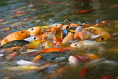 Koi feeding frenzy (1). School of japanese koi fish feeding (1 Royalty Free Stock Images
