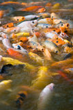Koi feeding frenzy (2). School of japanese koi fish feeding (2 Royalty Free Stock Photography