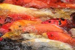 Koi feeding frenzy. Koi fish crowded together to get food Royalty Free Stock Photos