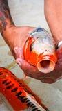 Koi-Fisch-Extremabschluß oben Lizenzfreies Stockbild