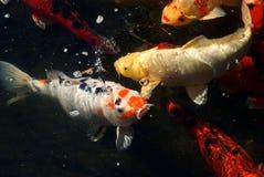 Koi Fische Lizenzfreie Stockbilder
