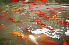 Koi Fische stockfotos