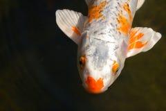 Koi Fische Stockfoto