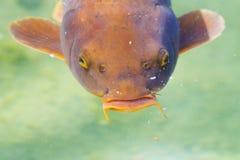 Koi-Fische Lizenzfreie Stockfotos