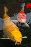 Koi Fische Lizenzfreies Stockbild