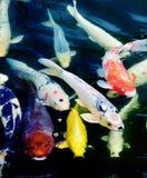 Koi Fische Stockbilder