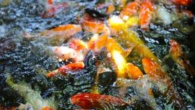 Koi Fische stock footage
