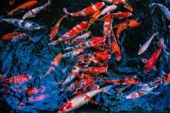 Koi-Fische in den Fischteichen Lizenzfreies Stockfoto
