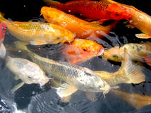 Koi Fische in einem Teich Lizenzfreie Stockfotografie