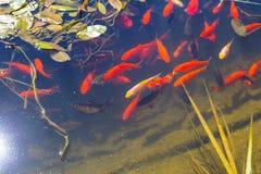 Koi-Fische in einem Teich Stockbild