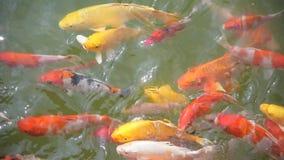 Koi Fische im Pool stock footage