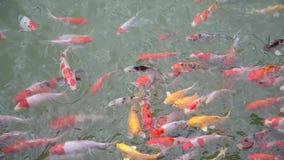 Koi Fische im Pool stock video