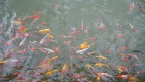 Koi Fische im Pool stock video footage