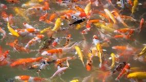 Koi Fische im Pool Stockfoto
