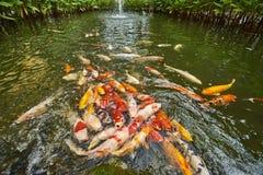 Koi Fische im Teich Lizenzfreies Stockfoto