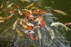 Koi Fische im Teich Lizenzfreies Stockbild