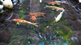 Koi-Fische im Wasser stock video