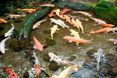 Koi-Fische im Wasser Lizenzfreies Stockfoto