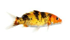 Koi-Fische lokalisiert auf dem weißen Hintergrund Stockbilder