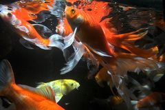 Koi Fische Unterwasser Lizenzfreie Stockfotos