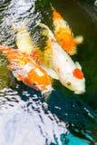 Koi-Fische werden in den Teichen bewirtschaftet Lizenzfreie Stockbilder