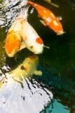 Koi-Fische werden in den Teichen in Thailand bewirtschaftet Stockbilder
