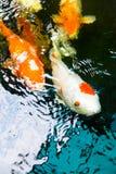 Koi-Fische werden in den Teichen in Thailand bewirtschaftet Stockfotos