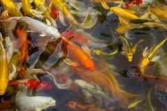 Koi-Fischschwimmen Lizenzfreie Stockfotografie