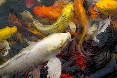 Koi-Fischschwimmen Stockfotos