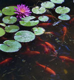 Koi fish. Koi or gold fish in a pond with a water lily royalty free stock photography