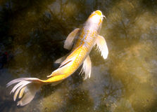 Koi Fish. Fan Tail Japanese Koi Carp Fish royalty free stock photos