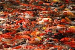 Koi fish. Feeding koi fish in the pond Royalty Free Stock Image