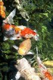Koi Fish. In pond. Scientific name:Cyprinus carpio, Family Cyprinidae royalty free stock images